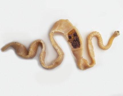 Tapeworm 2