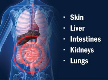 Detox Organs