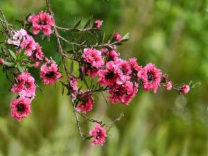 The Manuka Red Damask